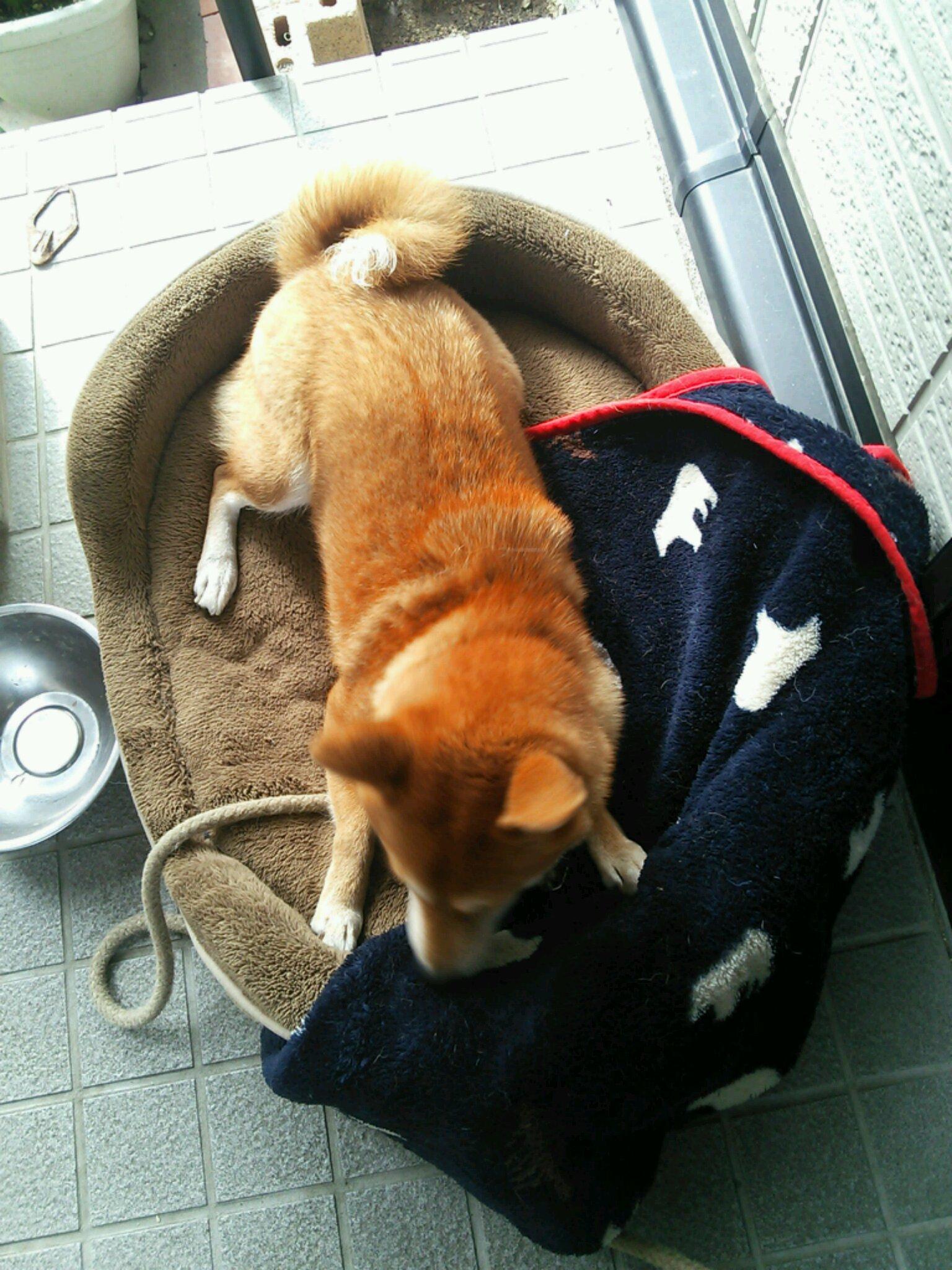 柴犬コロの冬支度