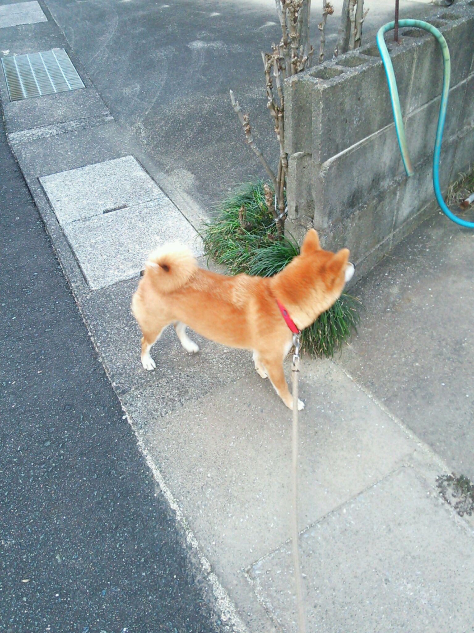 柴犬のおコロさんと散歩