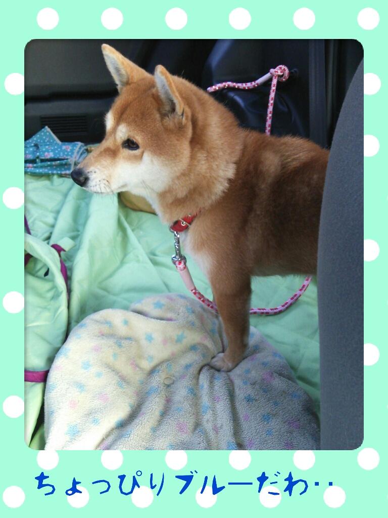柴犬コロさん2014