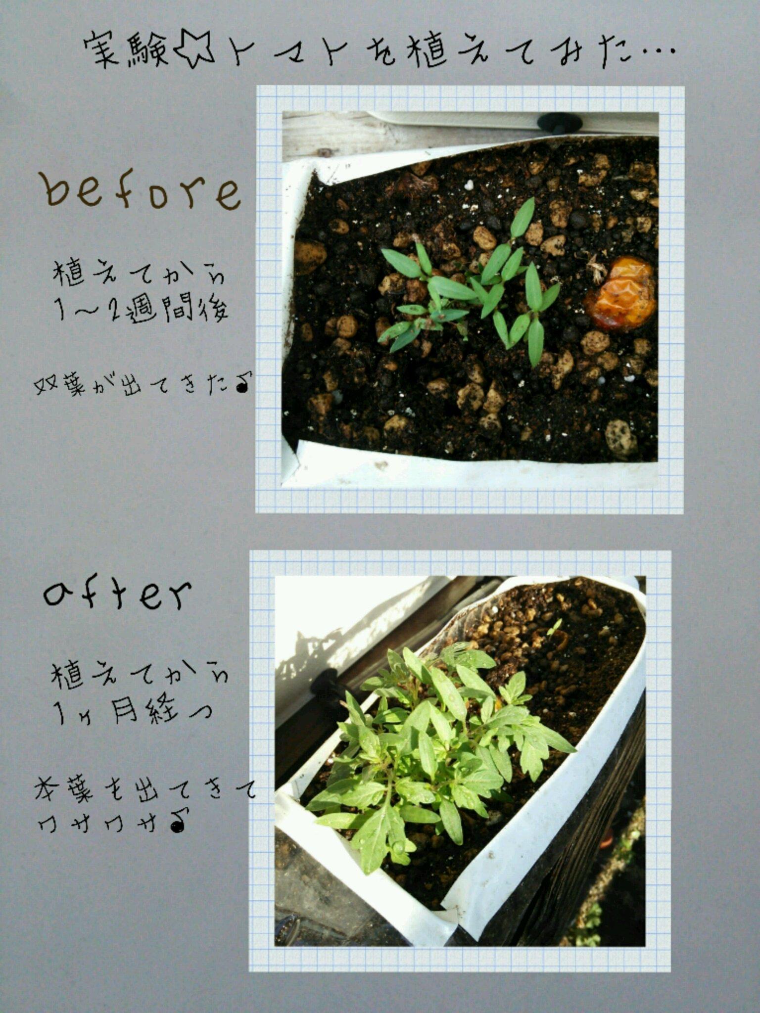 実験☆トマトを植えてみた  vol.2